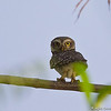 Spotted Owlet<br /> Photo @ Lotus Pond, Hyderabad
