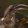 Grey Hornbill<br /> Photo @ zoo park, hyderabad