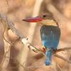 Stork-billed Kingfisher<br /> Photo @ Ranthambore National Park, RJ, India