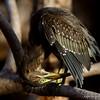 Little Heron<br /> Photo @ Ranthambore National Park, RJ, India