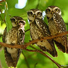 Spotted Owlets roosting<br /> Photo @ Pench National Park, MP