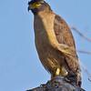 Crested Serpent Eagle<br /> Photo @ Tadoba Andhari Tiger Reserve, MH, India