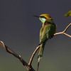 Green Bee Eater - Photographed at Zoo Park, Hyderabad