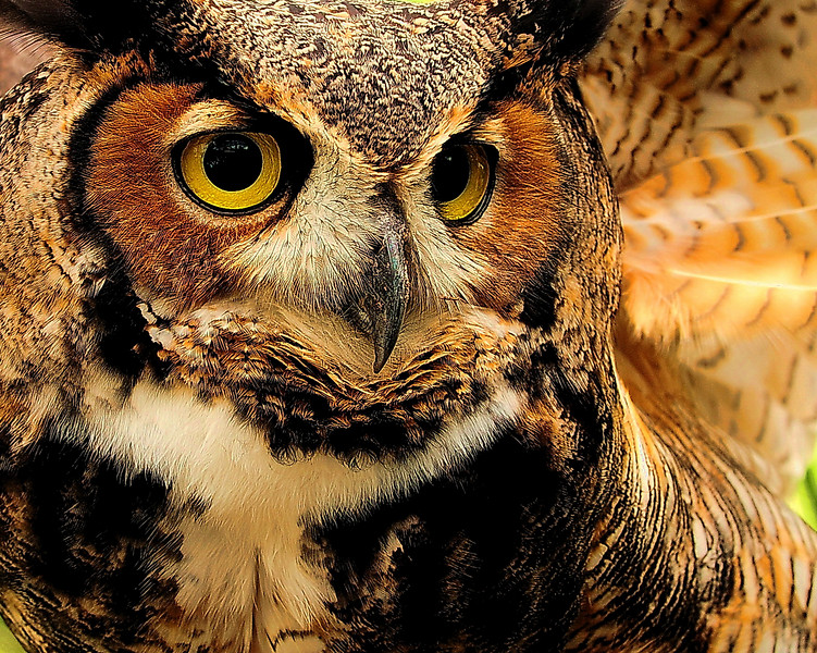 Horned Owl. This photo won runner up in the nature category of Popular Photography Magazine for 2008.