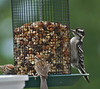 Downey Woodpecker and Chipping Sparrows