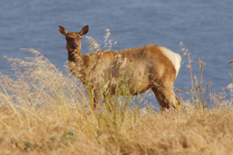 Pt. Reyes Elk