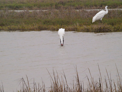 Whooping Cranes 1 Copyright 2010 Neil Stahl