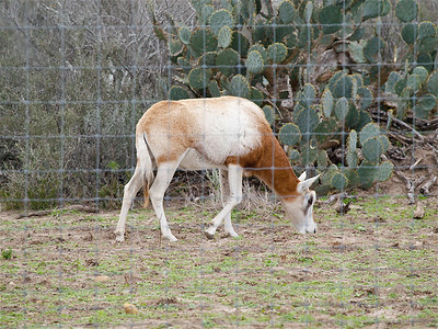 Another mystery antelope on a large (hunting?) farm on Tx 44. Copyright 2010 Neil Stahl
