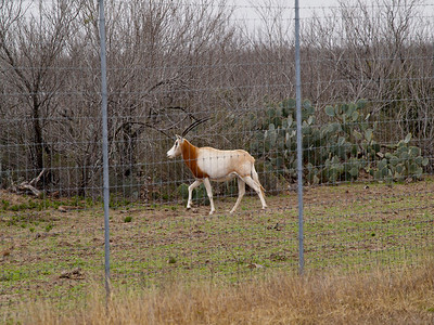 Mystery antelope on a large (hunting?) farm on Tx 44. Copyright 2010 Neil Stahl