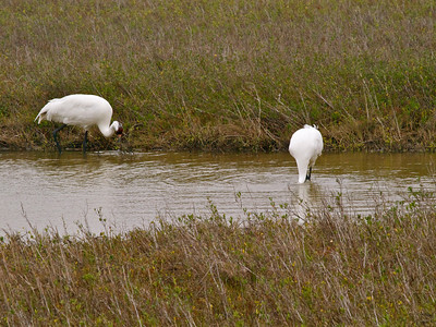 Whooping Cranes 7 Copyright 2010 Neil Stahl