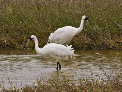 Whooping Cranes 8 Copyright 2010 Neil Stahl