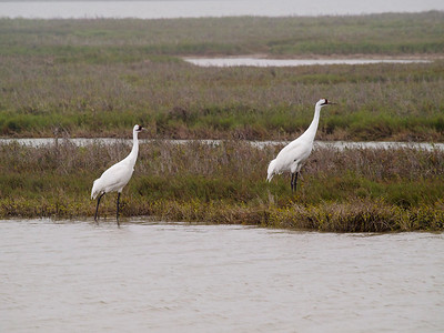 Whooping Cranes 3 Copyright 2010 Neil Stahl