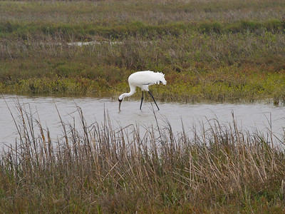 Whooping Crane 2 Copyright 2010 Neil Stahl