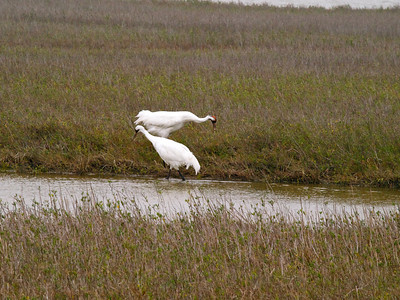 Whooping Cranes 4 Copyright 2010 Neil Stahl
