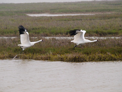 Whooping Cranes Taking Off 1 Copyright 2010 Neil Stahl
