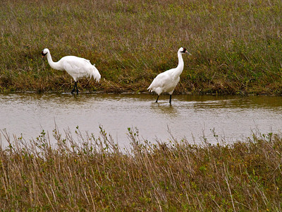 Whooping Cranes 5 Copyright 2010 Neil Stahl