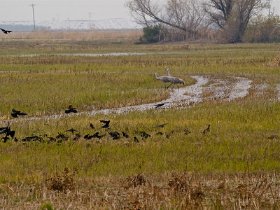 Two Sandhills with Redwing Blackbirds Copyright 2009 Neil Stahl