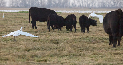 Egrets and cows  Merced NWR  Copyright 2011 Neil Stahl