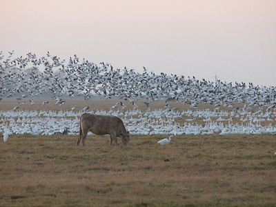 Here's where the snow geese landed this night  Merced NWR  Copyright 2011 Neil Stahl