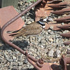 April 25, 2009 - Female Killdeer and nest at Rush Ranch outside Fairfield, CA.