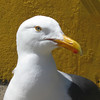 May 9, 2009 - Western Gull on Alcatraz Island in San Francisco Bay, CA.