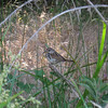 May 24, 2009 - Song Sparrow at Pinnacles National Monument, CA.