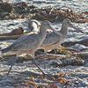 January 2, 2009 - Marbled godwits on the beach - Pacific Grove, CA