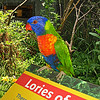 July 30, 2009. Lory at Oregon Zoo, Portland Oregon.