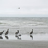 August 1, 2009.  Brown Pelicans on a beach near Astoria, Oregon.