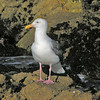 January 2, 2009 - Western Gull at Pacific Grove, CA