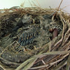 June 5, 2010.  Three baby robins in a nest on the back porch, Medford, Oregon.