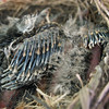 June 5, 2010.  Close up of new forming wing feathers, Medford, Oregon.