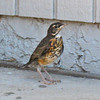 June 12, 2010.  Just fledged robin next to a nest on the back porch, Medford, Oregon.
