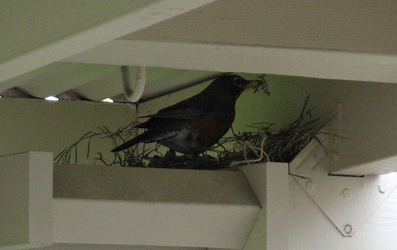 May 10, 2010.  Robin building a nest on the back porch, Medford, Oregon.