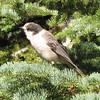 September 12, 2010 - Gray jay at Crater Lake NP, Oregon.