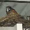 June 12, 2010. Two baby robins at a nest on the back porch, Medford, Oregon.