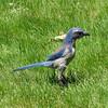 June 12, 2010.  Scrub Jay in the back yard, Medford, Oregon.