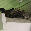 May 14, 2010.  Robin in a nest on the back porch, Medford, Oregon.