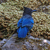 August 23, 2010.  Stellar's Jay at Oregon Caves NM, Oregon.