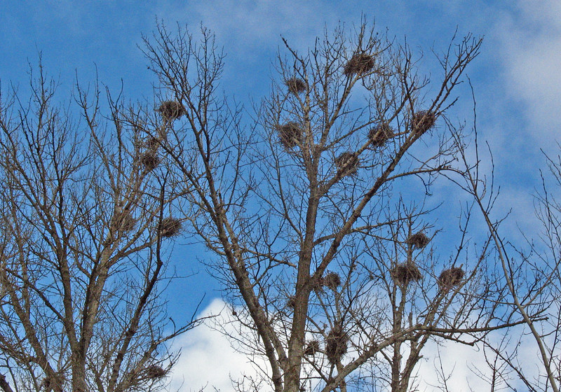 January 30, 2011. Great blue heron rookery at Touvalle Park outside of Medford, OR.