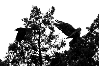 PHOTO 3 OF SERIES OF 4  - CROW ATTACKING OUR REDTAILED HAWK PARENT The sky is very glary today but made for dramatic black and white silhouettes  The crows have been relentlessly ganging up on the hawks and their nest and literally wearing the parents out.  I can't believe how brazen the crows are and how the hawks rarely attack them other then to chase them off and screech at the top of their lungs to chase them from the babies.
