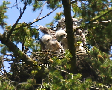 Watching mom as she flys away May 29, 2012 Redtailed hawk chicks with their mother on the nest