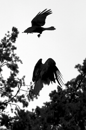 PHOTO 1 OF SERIES OF 4  - CROW ATTACKING OUR REDTAILED HAWK PARENT  The sky is very glary today but made for dramatic black and white silhouettes  The crows have been relentlessly ganging up on the hawks and their nest and literally wearing the parents out.  I can't believe how brazen the crows are and how the hawks rarely attack them other then to chase them off and screech at the top of their lungs to chase them from the babies.