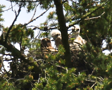 May 29, 2012 Redtailed hawk chicks with their mother on the nest All three are in this shot..blurry but always a thrill to see them together