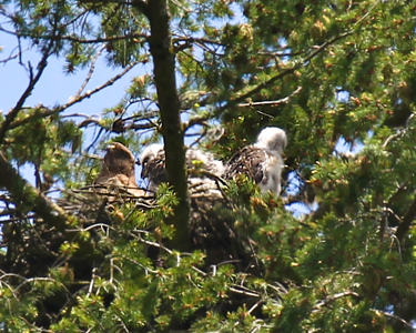 A nice view of both the chicks as they sun themselves on the nest with mom May 29, 2012 Redtailed hawk chicks with their mother on the nest