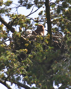 May 15, 2012 Another view of Mama and baby redtail hawk in teh early morning sunshine