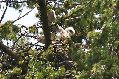 May 25, 2012  A SERIES OF PHOTOS OF ONE OF THE CHICKS EXERCISING HIS WINGS ON TH VERY EDGE OF THE NEST