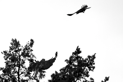 PHOTO 4 OF SERIES OF 4  - CROW ATTACKING OUR REDTAILED HAWK PARENT The sky is very glary today but made for dramatic black and white silhouettes  The crows have been relentlessly ganging up on the hawks and their nest and literally wearing the parents out.  I can't believe how brazen the crows are and how the hawks rarely attack them other then to chase them off and screech at the top of their lungs to chase them from the babies.
