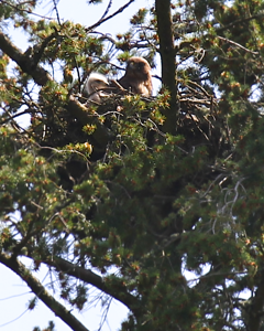 May 15, 2012 Mama and baby redtail hawk in teh early morning sunshine