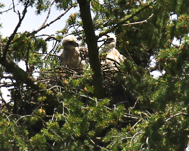 May 29, 2012 Redtailed hawk chicks with their mother on the nest.  The two chicks seem to be having a conversation here